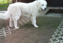Inzercia psov: 8-mesačné šteniatko Slovenského čuvača s PP