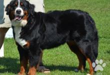 Inzercia psov: Bernský salašnický pes