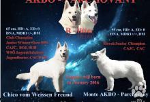 Inzercia psov: Biely švajčiarsky ovčiak šteniatka s PP