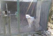 Inzercia psov: predam  zapadosibirsku lajku -pes