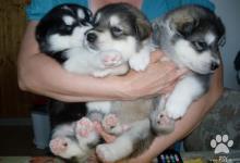 Inzercia psov: Aljašský malamut-šteniatka