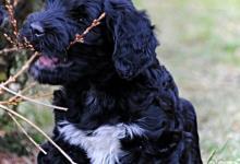 Inzercia psov: Portugalský vodný pes - rezervácia