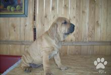 Inzercia psov: Brazilská Fila štěňata s P.P. FCI