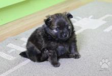 Inzercia psov: Německý špic malý oranžový