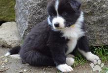 Inzercia psov: Štěňata australský ovčák s PP - black-bi pejsci