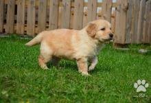 Inzercia psov: HOVAWART - šteniatka s pp
