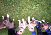 Inzercia psov: Západosibírska lajka