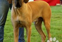 Inzercia psov: Darujem - pes brazilská fila s PP 4 ročný