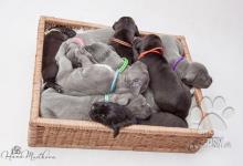 Inzercia psov: Štěňátka NĚMECKÉ DOGY s PP