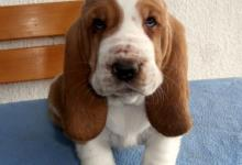 Inzercia psov: Bashound