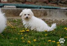 Inzercia psov: dvaja chlapci Boloňského psíka - štěňata
