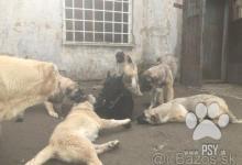 Inzercia psov: Kangal šteniatka s papiermi