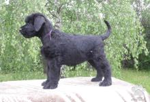 Inzercia psov: Bradáč veľký čierny - šteniatka
