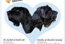 Inzercia psov: CHS Tender Savage - Štěňátka s PP Veľký bradáč