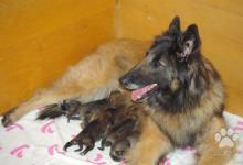 Inzercia psov: Belgický ovčák tervueren - prodám štěňata s PP .