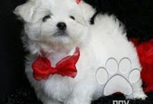 Inzercia psov: Maltézský psík