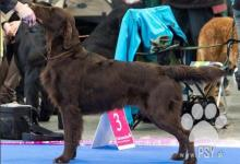 Inzercia psov: Krásná hnědá štěňátka Flat Coated Retrievra
