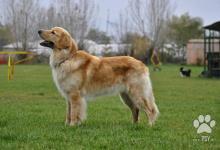 Inzercia psov: Prodám štěňata hovawart