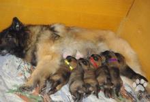 Inzercia psov: Belgický ovčák Tervueren - prodám štěňata s PP