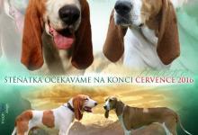 Inzercia psov: Švýcarský honič - Švycký honič - štěňata s PP FCI