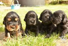 Inzercia psov: Prodej štěňat anglického kokršpaněla
