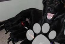 Inzercia psov: Prodám štěňátka z perspektivního spojení:
