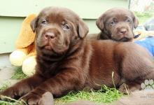Inzercia psov: Labrador – čokoládové šteniatka s PP