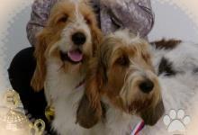 Inzercia psov: VELKÝ HRUBOSRSTÝ VENDÉNSKÝ BASET