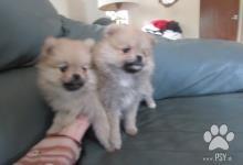 Inzercia psov: Pomeranian šteniatka