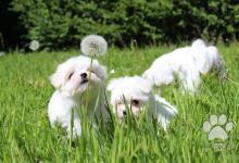 Inzercia psov: Maltézsky psík Maltézák