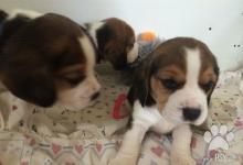 Inzercia psov: Čistokrvné šteniatka beagla