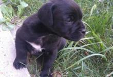 Inzercia psov: Predám štvortýždnového stafordšírskeho bulteriéra