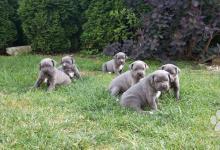 Inzercia psov: Cane Corso Slovensko  modre - Bardejov