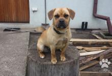 Inzercia psov: Darujem fenku - Frengle