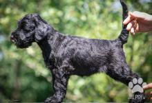 Inzercia psov: Štěňata na prodej - Knírač velký černý s PP