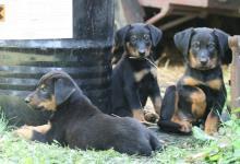Inzercia psov: Chov. stanice OLIVÍN - Beauceron
