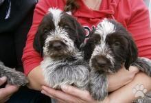 Inzercia psov: Prodám nádherné štěně plemene český fousek s PP