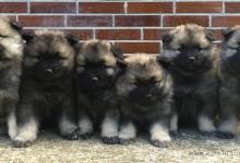Inzercia psov: Německý špic vlčí / Keeshond - kvalitní štěňátka