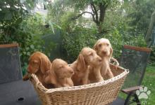 Inzercia psov: Maďarský ohař drátosrstý
