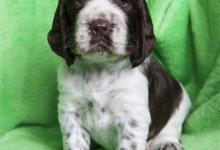 Inzercia psov: Anglický špringršpaněl - štěňátka s PP