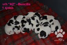 Inzercia psov: Bernský honič