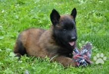 Inzercia psov: Nabízím štěňata belgický ovčák malinois, 2 feny