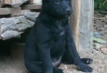 Inzercia psov: štěně Mudi kříženec na prodej