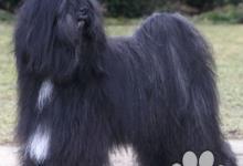 Inzercia psov: TIBETSKÝ TERIÉR štěňata z chovatelské stanice s PP