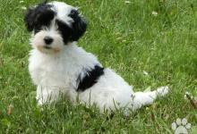 Inzercia psov: Havanský psík - štěňátka
