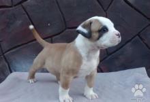 Inzercia psov: Americký buldog šteňa
