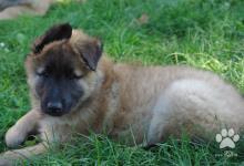 Inzercia psov: Belgický ovčák - Tervueren - prodám krásného psa