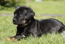 Inzercia psov: Překrásné štěně Tosa Inu TOP kvalita