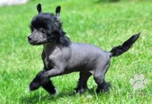 Inzercia psov: Čínský chocholatý pes-roztomilá štěňata s PP