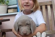 Inzercia psov: WEIMARSKÝ STAVAČ ŠTĚŇÁTKA S PP